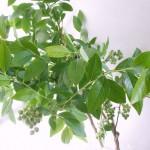 ブルーベリー 切り枝
