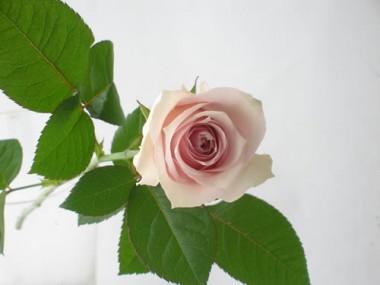 111207  バラ リメンブランス