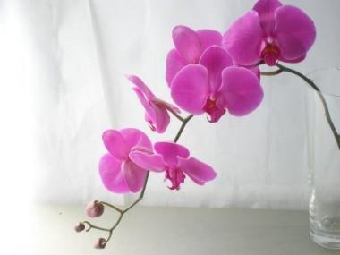 胡蝶蘭 濃いピンク