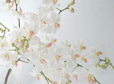 胡蝶蘭 なごり雪