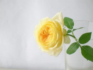 バラ キャラメルアンティーク