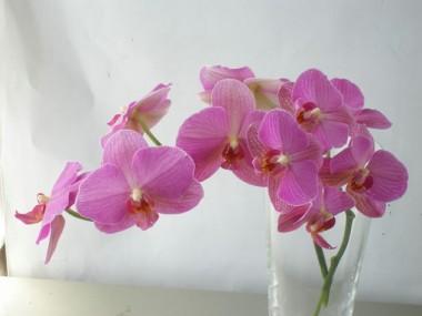 胡蝶蘭 バイオレットリサ
