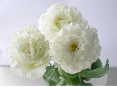 トルコキキョウ 秋ホワイト