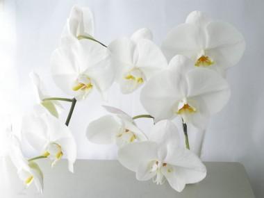 胡蝶蘭 ファレノ(白)