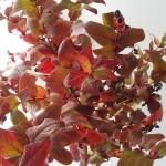 紅葉ヒペリカム