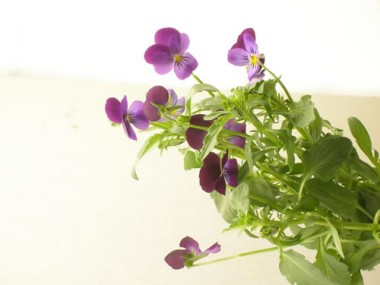 ビオラ 切り花