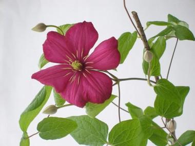 テッセン 赤紫