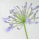 アガパンサス 紫