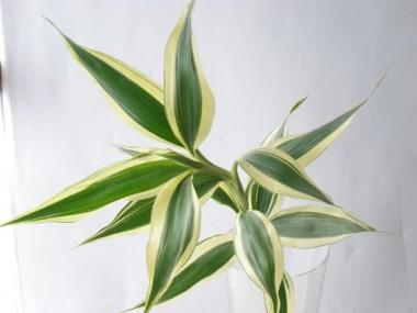 ドラセナ サンデリアーナ ホワイト
