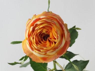 バラ ヘリオスロマンチカ