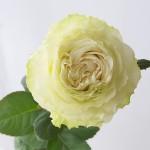 白バラ オートクチュール