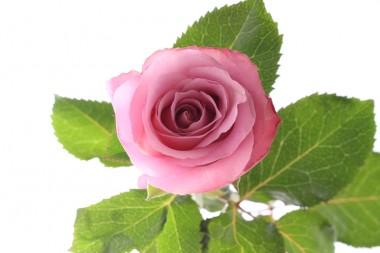 バラ オキシジェン