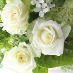 白いバラ アバランチェ+
