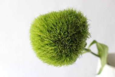 てまり草ジャンボ