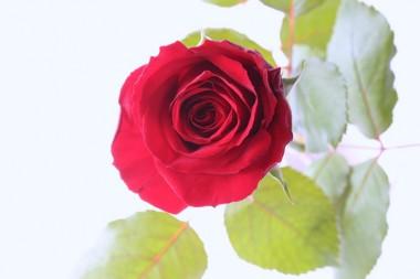 赤バラ エロス