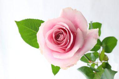 バラ ピンクアバランチェ