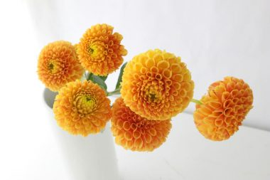 ダリアミニ サックルフレッシュオレンジ