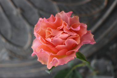 バラ ブラッドオレンジ+