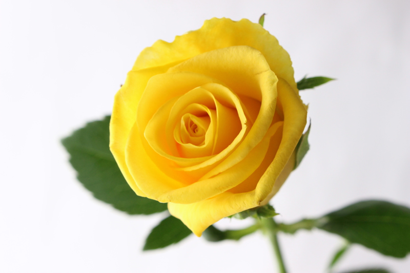 黄色バラ ゴールドラッシュ