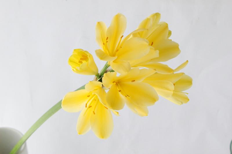 クンシラン 黄色