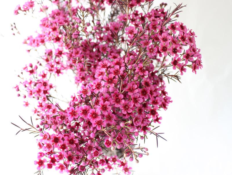 ワックスフラワー染ピンク