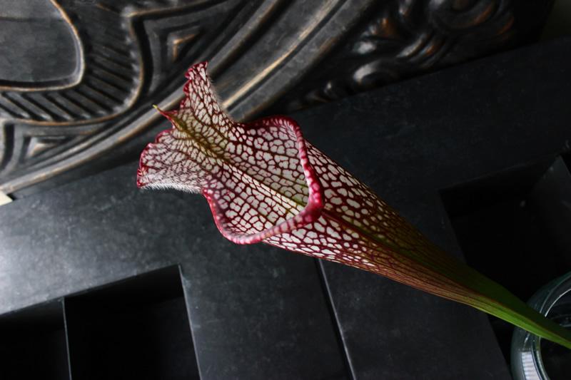 サラセニア葉