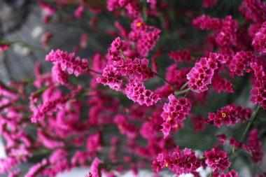 ハイブリッドスターチス ピンク色