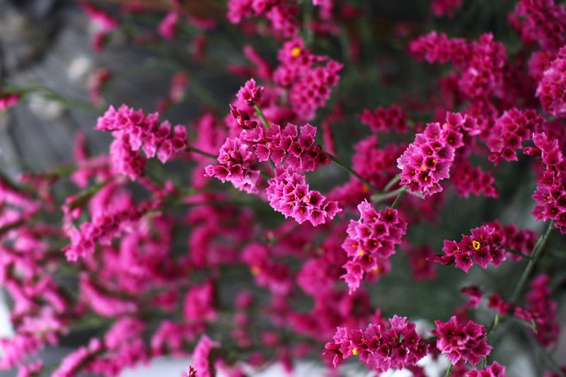 ハイブリッドスターチスシネンシス ピンク色