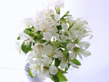 アリストロメリア アンティークホワイト