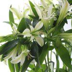 アリストロメリア ブライダルホワイト
