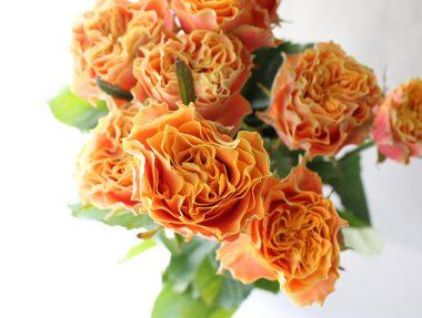 バラ キャロットオレンジ