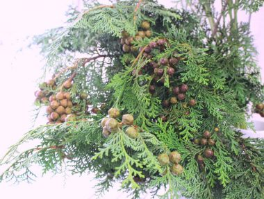 ヒノキの枝実付き