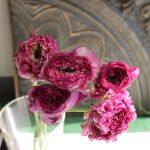 ラナンキュラス ポンポン赤紫色