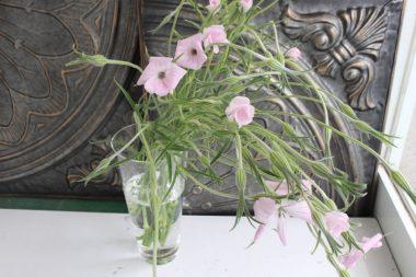 アグロステンマ 桜貝