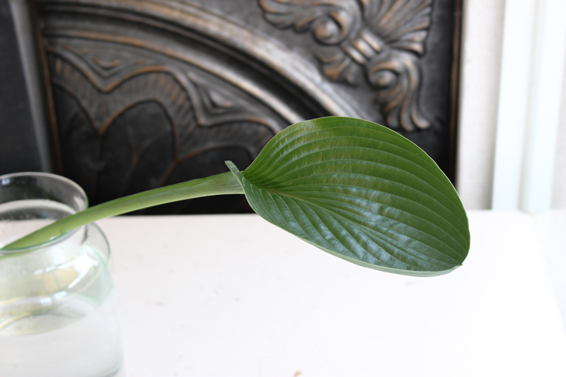 銀葉ギボウシの葉