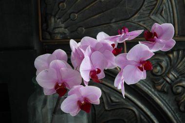ミディ胡蝶蘭 ギャンリンパッション