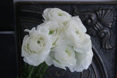 ラナンキュラス シュガーホワイト