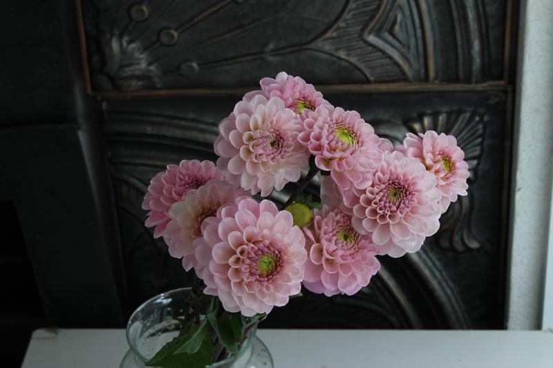 ダリア/切り花