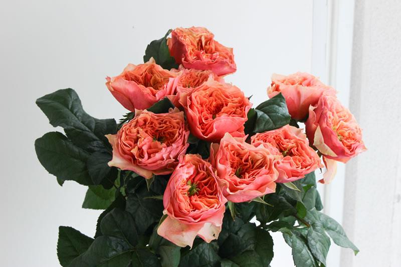 バラ オレンジ系